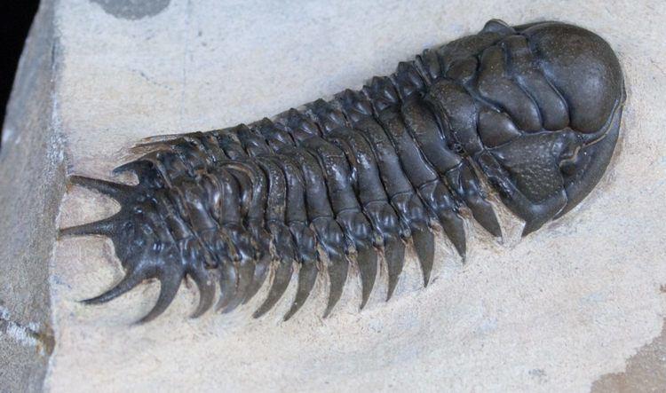 Crotalocephalus Scarce Species of Crotalocephalus Superb Preparation For Sale