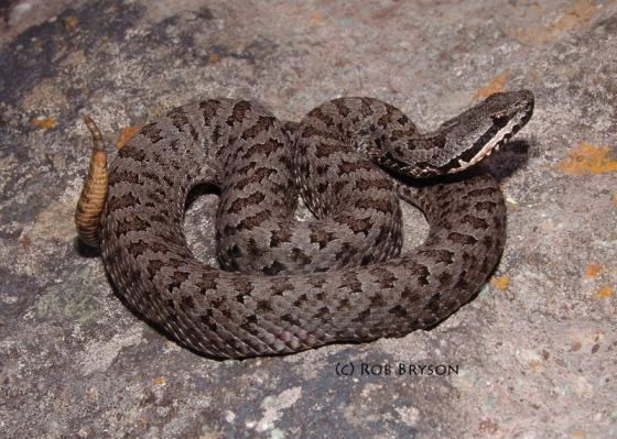 Crotalus Crotalus intermedius The Reptile Database