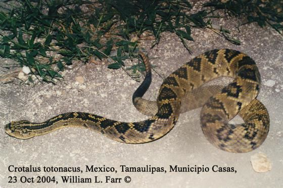 Crotalus Crotalus totonacus The Reptile Database