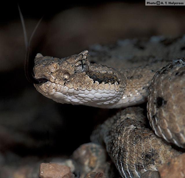 Crotalus cerastes Sidewinder Crotalus cerastes Reptiles of Arizona