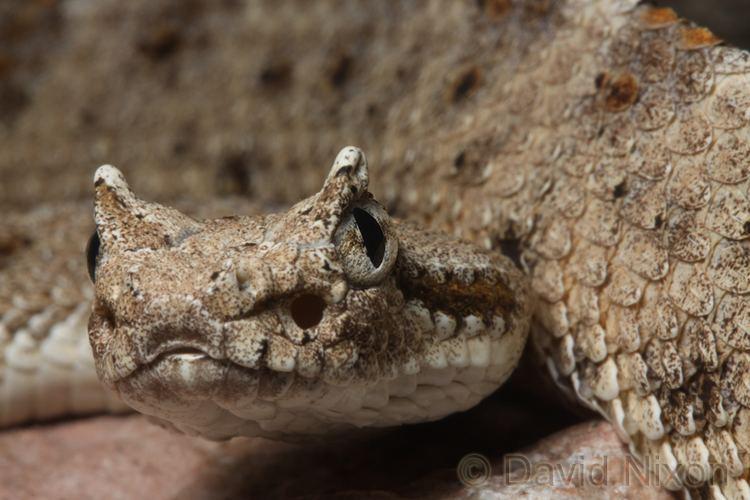 Crotalus cerastes CalPhotos