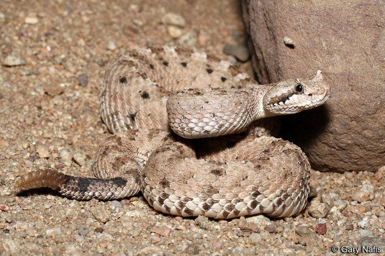 Crotalus cerastes Mohave Desert Sidewinder Crotalus cerastes cerastes