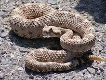 Crotalus cerastes httpsuploadwikimediaorgwikipediacommonsthu
