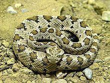 Crotalus enyo httpsuploadwikimediaorgwikipediacommonsthu