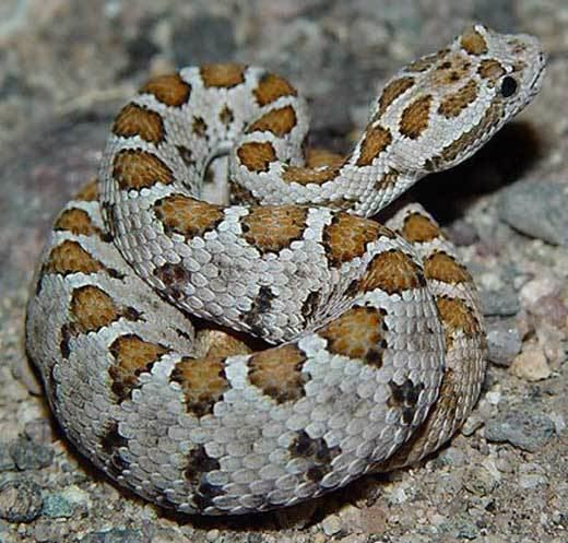 Crotalus enyo Snake Species Crotalus enyo Baja California Rattlesnake