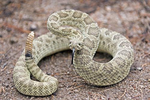 Crotalus The History Scroll Western Prairie Rattle Snake Crotalus viridis