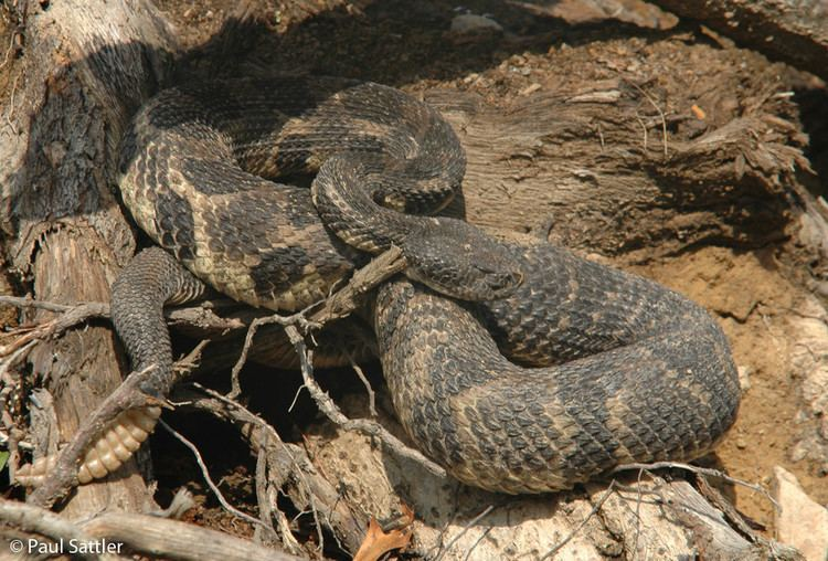 Crotalus horridus Timber Rattlesnake