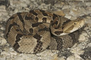 Crotalus horridus Crotalus horridus Timber rattlesnake Discover Life mobile
