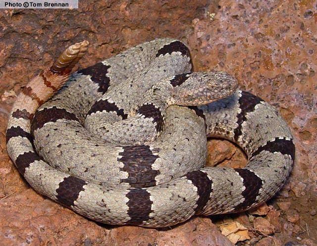 Crotalus lepidus wwwreptilesofazorgGraphicsSnakesCROLEP2004ajpg