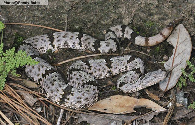 Crotalus lepidus - Alchetron, The Free Social Encyclopedia
