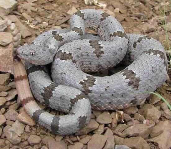 Crotalus lepidus Snake Species ROCK RATTLESNAKE Crotalus lepidus Snake fajok