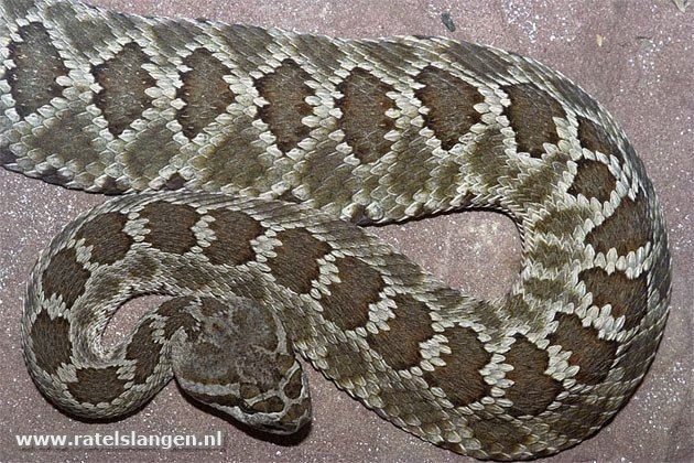 Crotalus oreganus caliginis httpssmediacacheak0pinimgcomoriginals37