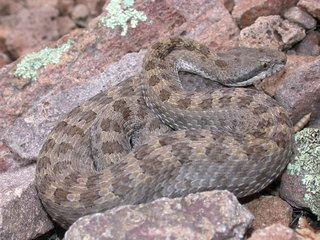 Crotalus pricei Crotalus pricei Twinspotted Rattlesnake Discover Life