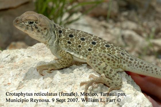 Crotaphytus reticulatus wwwreptariumczcontentphotord05Crotaphytusr