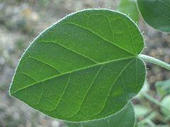 Croton ciliatoglandulifer httpsuploadwikimediaorgwikipediacommonsthu