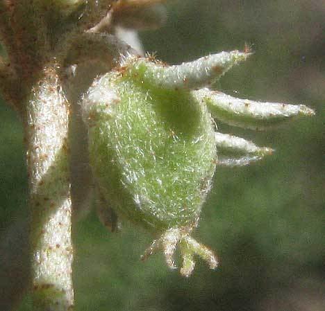 Croton monanthogynus wwwbackyardnaturenetn13130811cvjpg