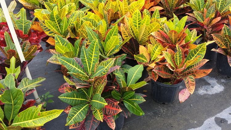 Croton (plant) Best Method of Growing and Caring For the Colorful Croton Plant