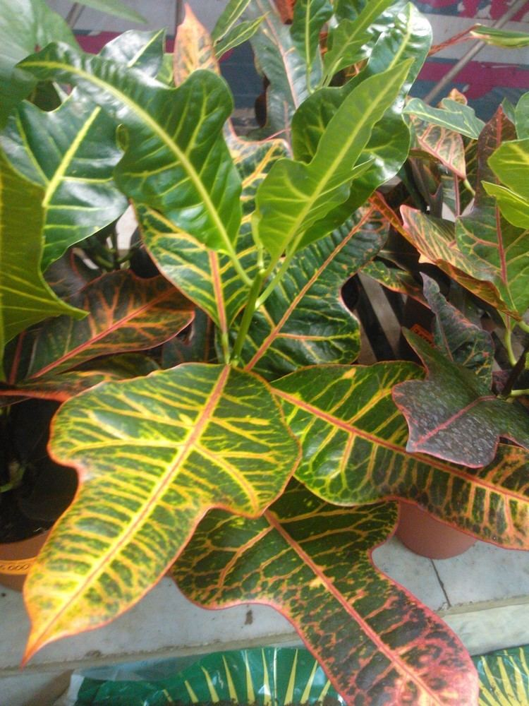 Croton (plant) Croton Plant Care Tips growing planting cutting pruning