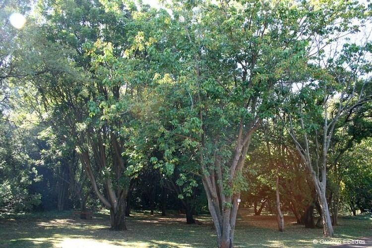 Croton sylvaticus wwwplantbookcozawpcontentuploadsplantbookc