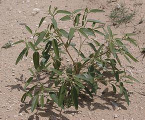 Croton texensis httpsuploadwikimediaorgwikipediacommonsthu