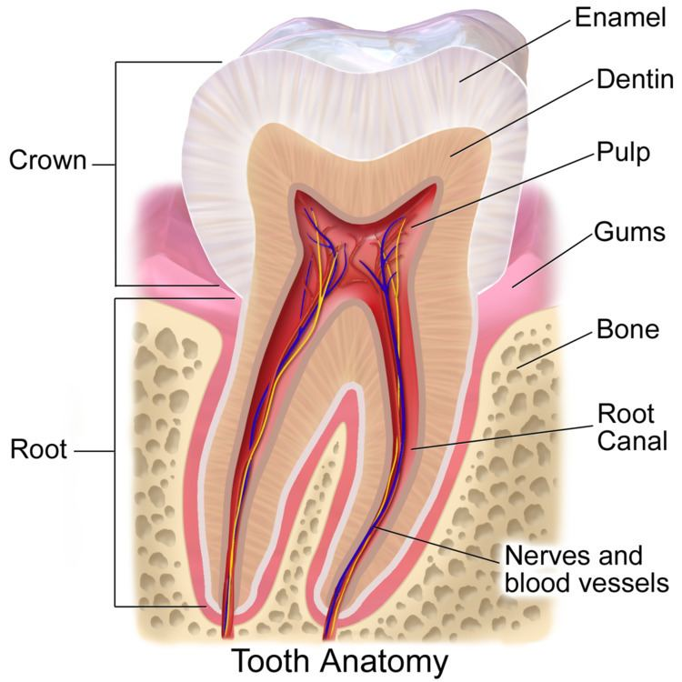Crown (tooth)