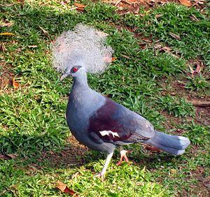 Crowned pigeon Western crowned pigeon Wikipedia