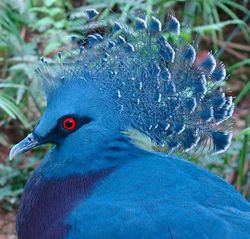 Crowned pigeon Crowned pigeon Wikipedia