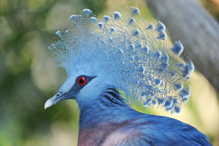Crowned pigeon Victoria Crowned Pigeon on emaze
