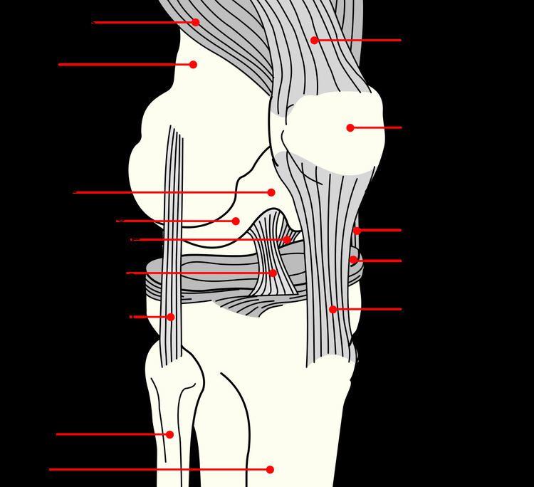 Cruciate ligament