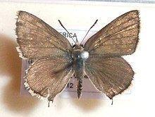 Crudaria leroma httpsuploadwikimediaorgwikipediacommonsthu