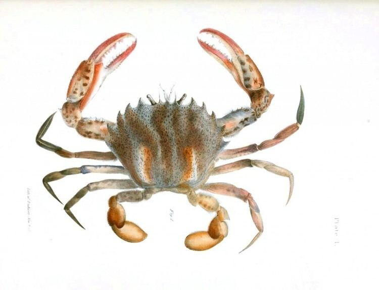 Crustacean Animal Crustacean Vintage Printable at Swivelchair Media Beta