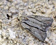 Cryphia raptricula httpsuploadwikimediaorgwikipediacommonsthu