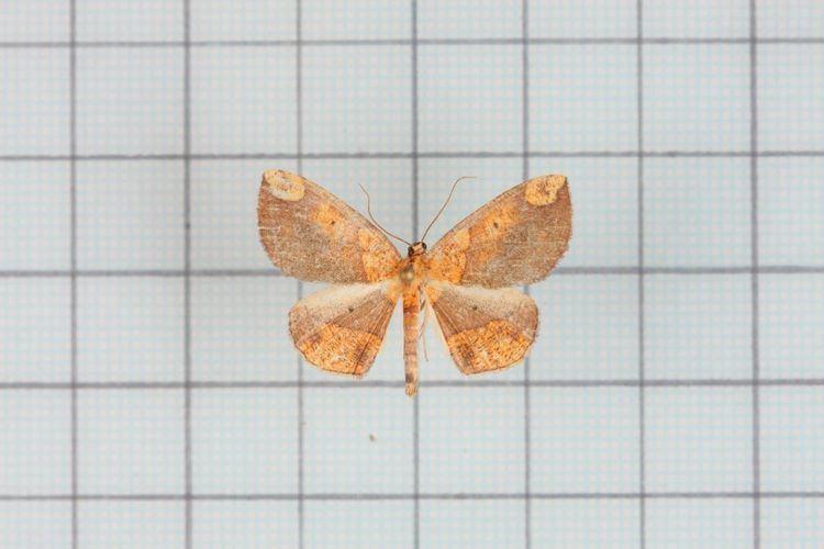 Crypsicometa ochracea
