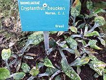 Cryptanthus beuckeri httpsuploadwikimediaorgwikipediacommonsthu
