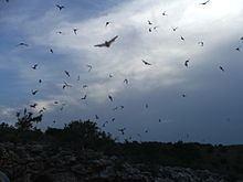 Cryptic bat rabies httpsuploadwikimediaorgwikipediacommonsthu