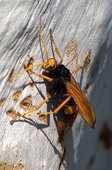 Cryptocheilus httpsuploadwikimediaorgwikipediacommonsthu