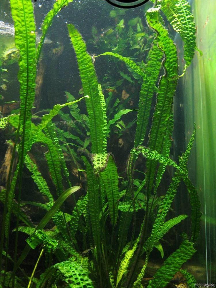 Cryptocoryne aponogetifolia Cryptocoryne aponogetifolia Flowgrow Aquatic Plant Database