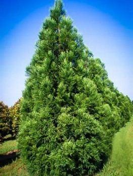Cryptomeria Buy Cryptomeria Trees Online The Tree Center