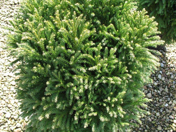 Cryptomeria Online Plant Guide Cryptomeria japonica 39Nana39 Dwarf Japanese Cedar