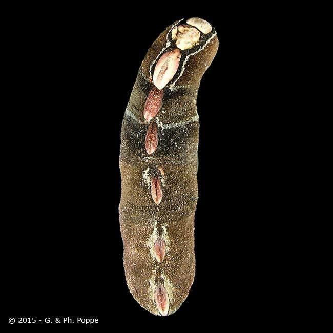 Cryptoplax CRYPTOPLACIDAE Cryptoplax larvaeformis ID270358 Shell Detail