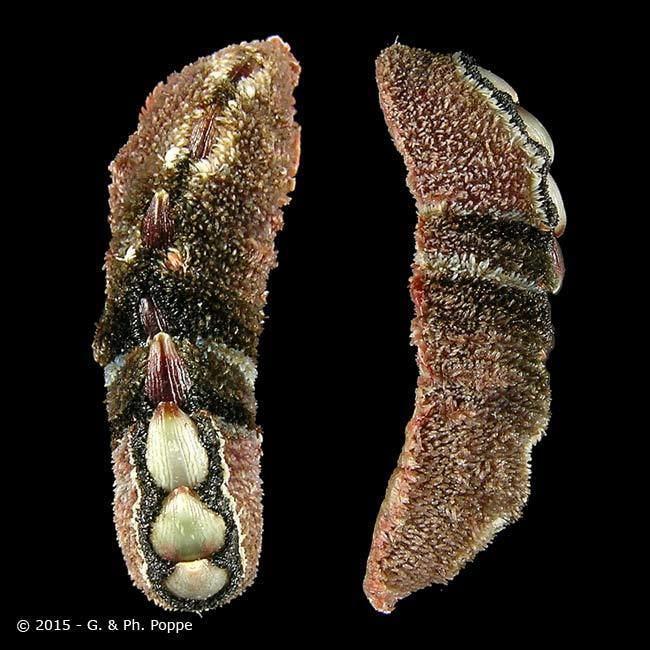 Cryptoplax CRYPTOPLACIDAE Cryptoplax larvaeformis ID277370 Shell Detail