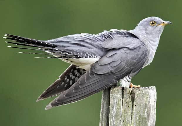 Cuckoo First Cuckoo British Bird Lovers