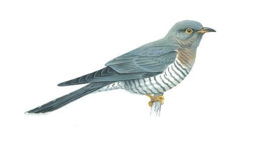 Cuckoo The RSPB Cuckoo