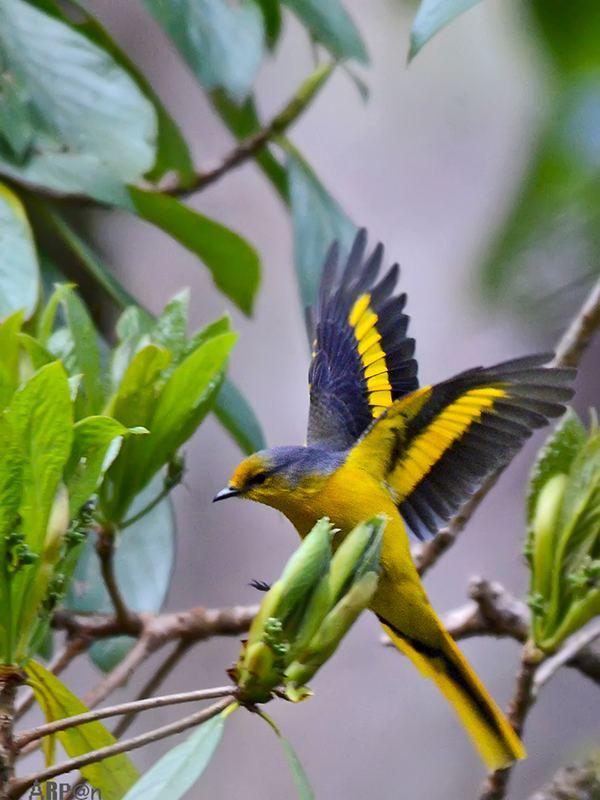 Cuckooshrike indianaturewatchnetimagesalbumphoto1835122568