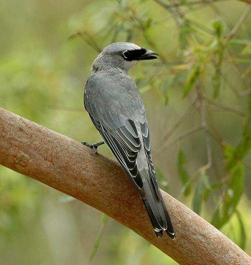 Cuckooshrike Bird Australian Cuckooshrikes