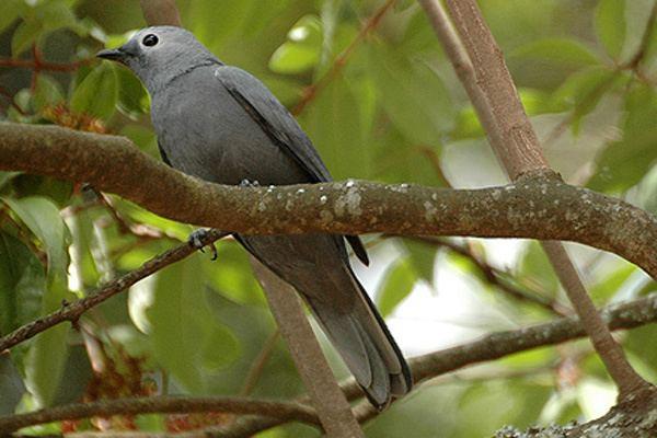 Cuckooshrike Grey cuckooshrike Wikipedia
