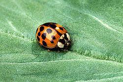 Cucujiformia httpsuploadwikimediaorgwikipediacommonsthu