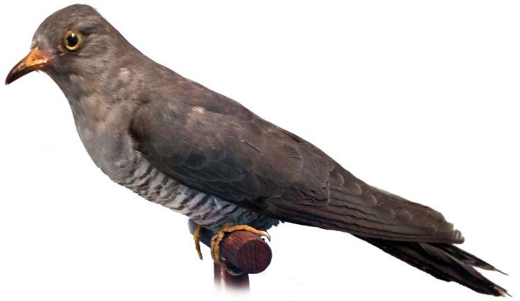Cuculus AnimalBase Cuculus canorus speciestaxon homepage