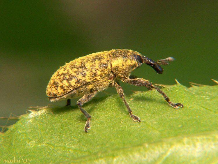 Curculionidae Weevils Family Curculionidae