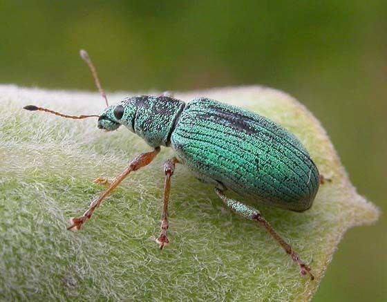 Curculionidae bugguidenetimagesrawTHGHVHTHGHVHMHCH4HCHXHFH